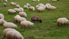 Herd of Sheep Grazing, Panning Shoot - stock footage