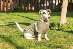 Cute Jack Russell dog portrait at a park. - stock photo