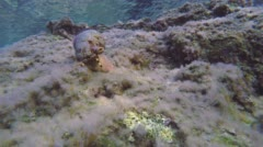 Triton Snail And Mediterranean Moray Underwater Stock Footage
