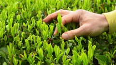 Japanese green tea plants close-up Stock Footage