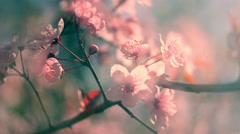 Toned shining closeup panoramic view of blooming pink cherry branch - stock footage