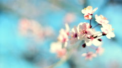 Closeup scene of blooming pink cherry branch on teal sky background. Stock Footage