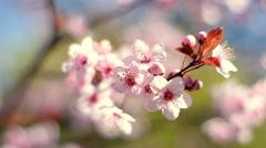 Circular closeup panoramic scene across blooming pink cherry branch Stock Footage