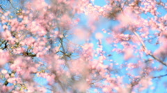 Perspective shot of blooming pink cherry against blue sky with varied focus - stock footage