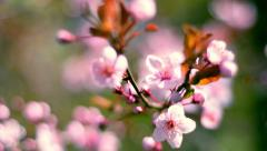 Round close up shiny panoramic view of blooming pink cherry tree - stock footage