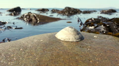 Lone Barnacle Shell On North Welsh Beach Stock Footage