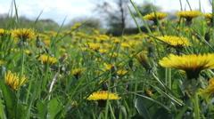 Flowering dandelions in a sunny spring field Stock Footage