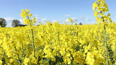 Rapeseed Field In Full Blossom Used For Biofuel - stock footage