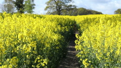 Rapeseed Field In Full Blossom Used For Biofuel Stock Footage