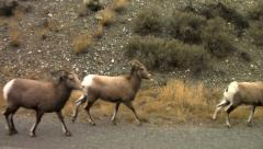 Tracking Shot of Rams In The Wild Off Roadside - stock footage