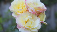 Cluster of cream-colored roses Stock Footage