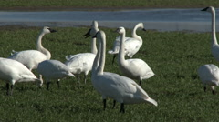 Swans, Trumpeter Swans, Birds, Socialize, Chitchat Stock Footage