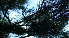 Close up of branches of a tree pine fir moves in the wind. Stock Footage