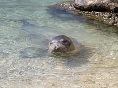 Mediterranean monk seal - stock photo