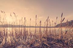Reeds in a frozen lake in the sunset - stock photo