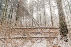 Snow on fallen trees in a forest - stock photo