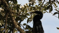 Anhinga (Anhinga Anhinga) Bird Grooming Neck in a Tree Stock Footage