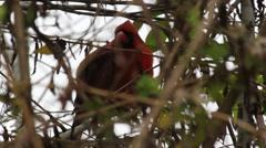 Cardinal (Cardinalis Cardinalis) in a Bush Stock Footage