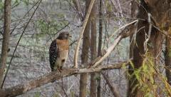 Red-Shouldered Hawk (Buteo Lineatus) Perched on a Branch in Florida Flies Away - stock footage