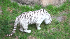 White Bengal Tiger on a background of rocks and green plants - stock footage