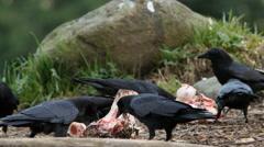 Crows Picking at Bones Stock Footage