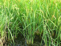 The cultivation of rice in flooded fields Stock Photos