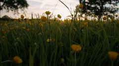 Idyllic Buttercup Meadow Shot In The Golden Hour - stock footage