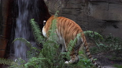 Tiger walks on a background of rocks and green plants - stock footage