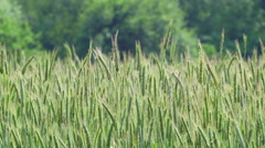 Agriculture Nature - Rye Field Medium Closeup Stock Footage