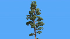 Scots Pine Thin Tree in Summer Pinus Sylvestris Coniferous Evergreen Tree is Stock Footage