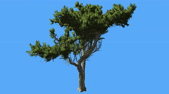 Monterey Cypress Small Curved Tree Green Crown Coniferous Evergreen Tree is Stock Footage