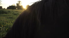 Shetland ponies grazing and relaxing at sunset in a buttercup field. Shot in - stock footage