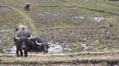 Water Buffalo. Stock Footage