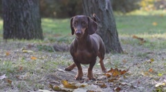 Dachshund dog in autumn park barking at the camera Stock Footage