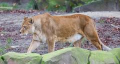 Lion on alert Stock Photos