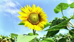 Sunflower on a background of blue sky Stock Footage