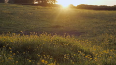 Shetland ponies grazing and relaxing at sunset in a buttercup field. Shot in Stock Footage