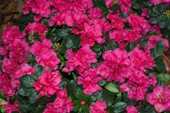Pink azalea flowers closeup Stock Photos