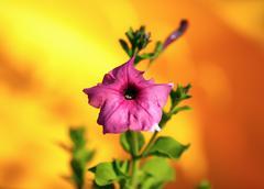 Fading hollyhock flower - stock photo
