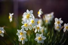 Stock Photo of Flowering narcissus at springtime
