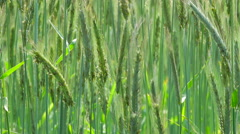 Agriculture Nature - Rye Field Closeup 2 Stock Footage