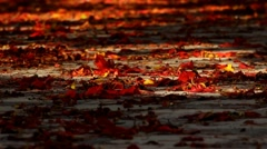 Flame tree flowers lie on ground, sun path, close view, light breeze move petals Stock Footage