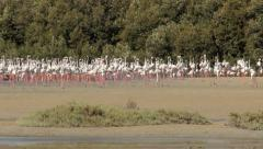 Large flamingos flock on shallow water at Ras Al Khor Wildlife Sanctuary Stock Footage