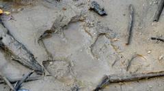 Hippos footprint, Ishasha river, Queen Elizabeth National Park, Uganda, Africa Stock Footage