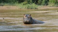 Hippos, Ishasha river, Queen Elizabeth National Park, Uganda, Africa Stock Footage