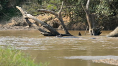 Hippos, Ishasha river, Queen Elizabeth National Park, Uganda, Africa Stock Footage
