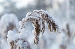 Closeup on reed covered by snow - stock photo