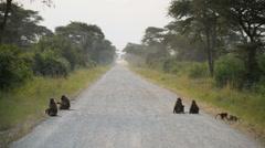 Olive Baboon (Papio anubis), Queen Elizabeth National Park, Uganda, Africa Stock Footage