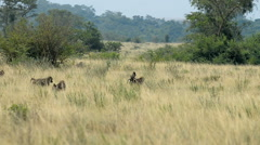 Olive Baboon (Papio anubis), Uganda, Africa Stock Footage