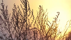 The sunset, the sun lights beautifully dried herbs Stock Footage